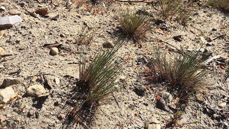 Tofsäxingen är en karaktärsart för sandstäppen.