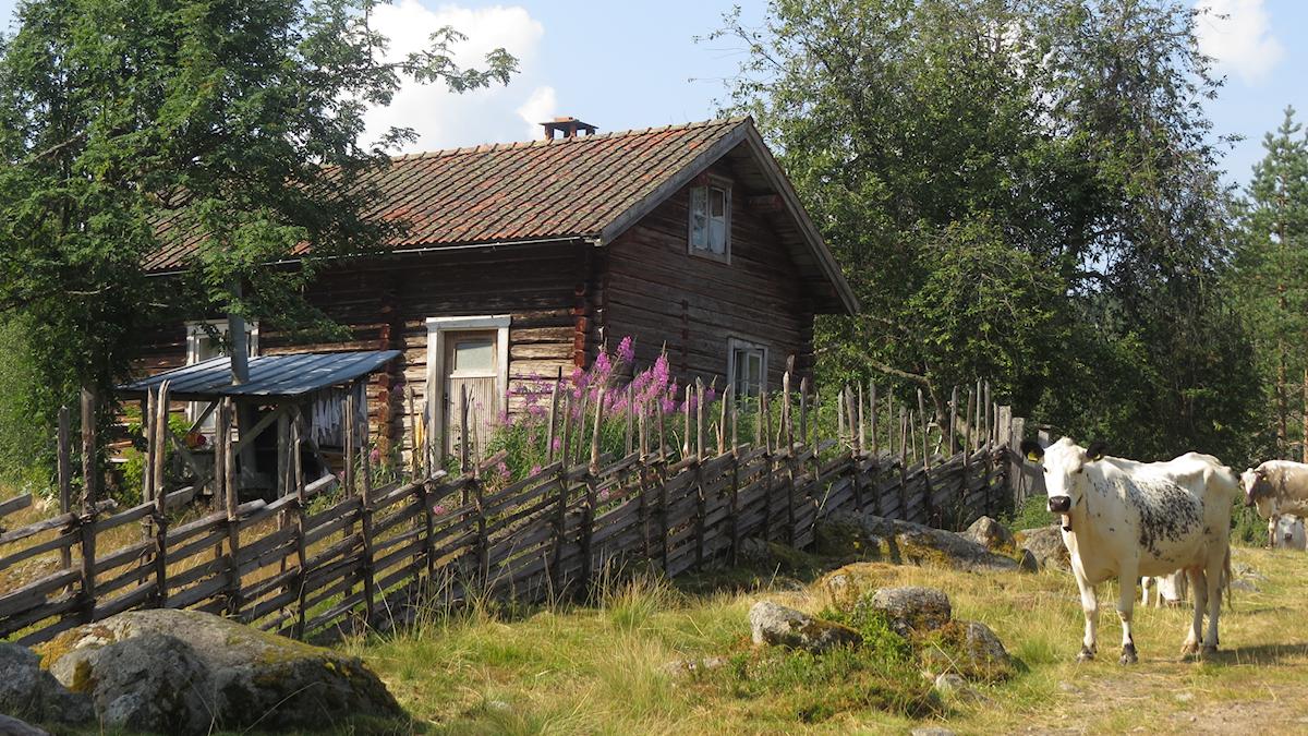 Fjällkor framför en fäbod i Norra Risberget i västra Dalarna.