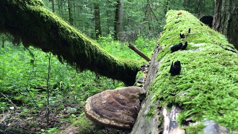 En brun ticka, vedsvamp på mossig liggande trädstam.