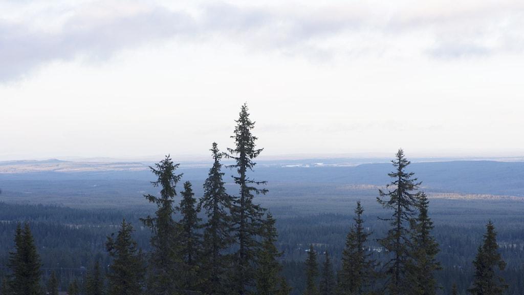 Smala höga granar mot långsträckt vy av skog och fjäll.