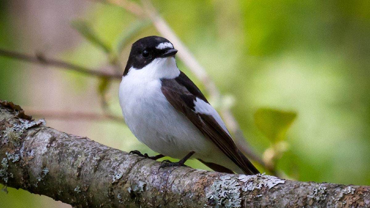 En liten fågel med vit buk och mörk ryggsida och mörkt huvud.