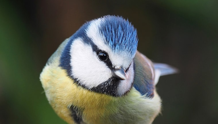 Blåmes, Parus caeruleus, tittar in i kameran.