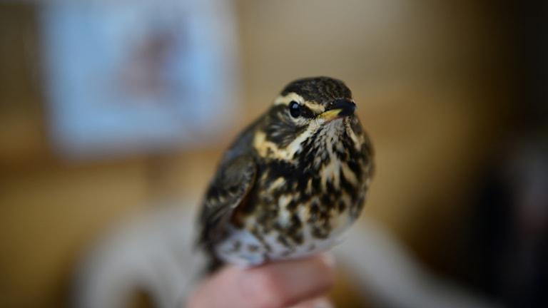 En fågel i handen - rödvingetrast.