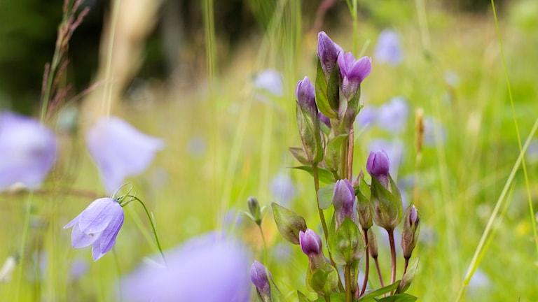 En rikblommande violett växt. Fältgentiana, Gentianella campestris. Omgiven av liten blåklocka.