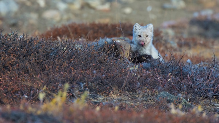 En polarräv kalasar på ett myskoxkadaver. Hornet syns bakom dvärgbjörkriset.