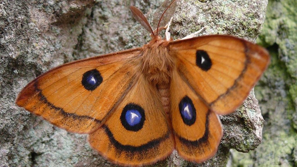 En lysande orange fjäril med ett mörkt kantband på vingarna. Och var och en av de fyra vingarna finns en blå ögonfläck.