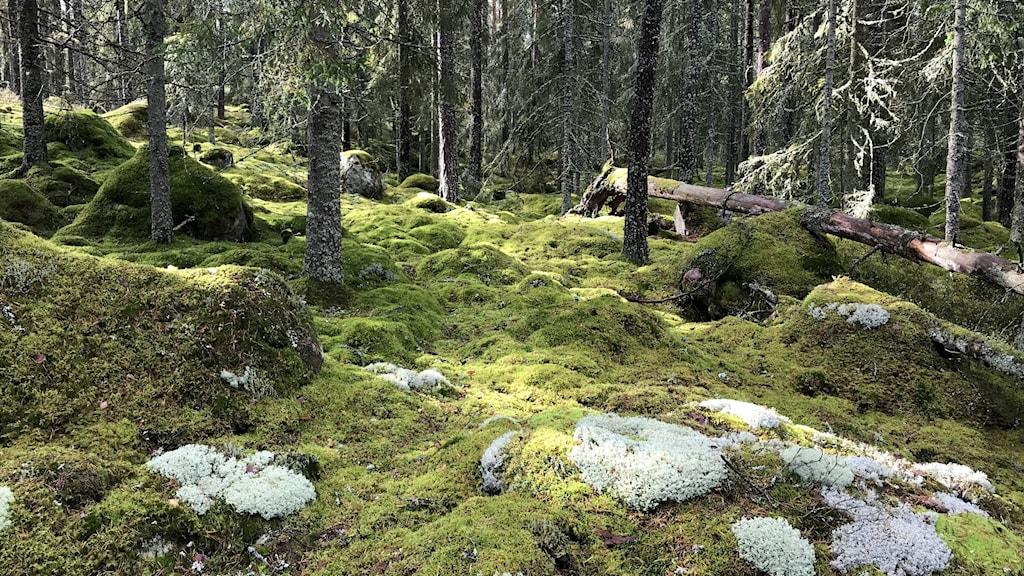 Renlavar och mossa i skogen, Stocksmyr-Brännan.