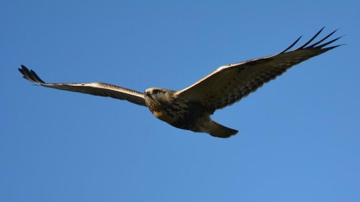 rovfågel mot blå himmel