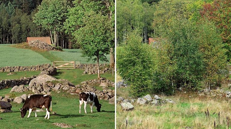 Igenväxningen går fort när korna försvinner. Bildparet är hämtat ur boken Åter till mulens marker. B