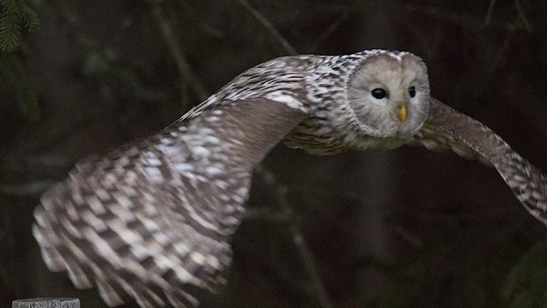 En stor uggla flyger nära kameran i mörkret, med utbredda vingar