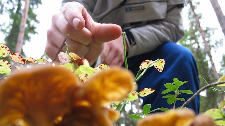 En hand sträcks ner mot en samling trattkantareller