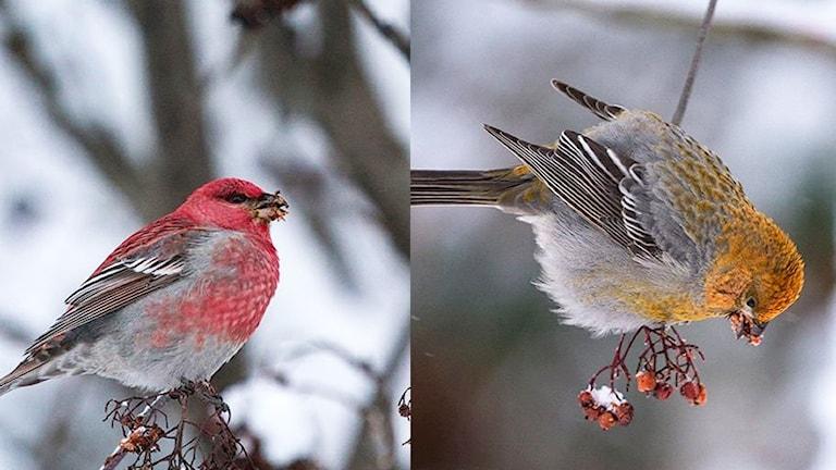 Två närbilder på fåglar, till vänster en rödfärgad, till höger en gul. Tallbit, Pinicola enucleator.