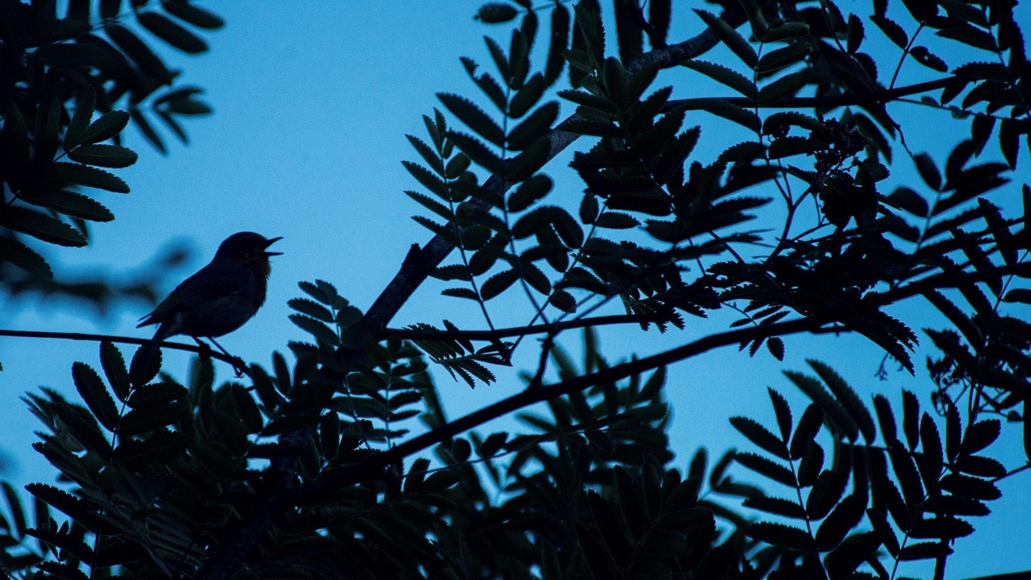 en fågel i en rönn i skymning