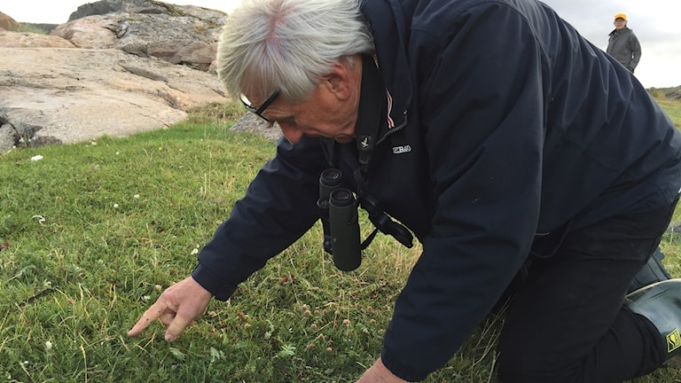 Stefan Edman, författare och biolog, hittar kustarun på Rossön på södra Orust.