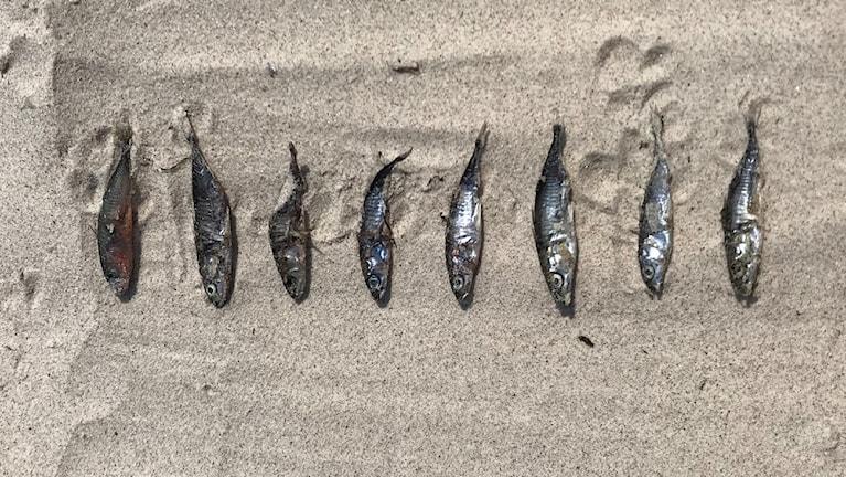 Lyssnarbild på åtta uppradade silverfärgade småfiskar på en sandstrand