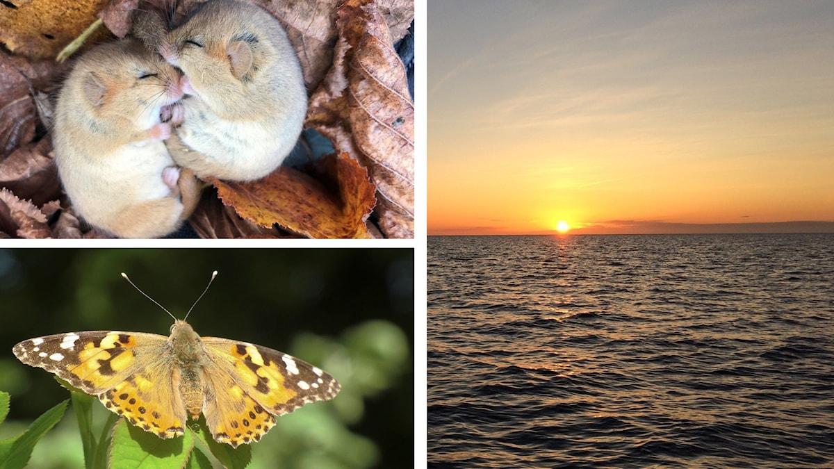 Naturmorgon 2019 hasselmöss, tistelfjärilar och sälmorgon