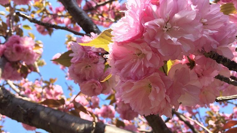Körsbärsträd som blommar