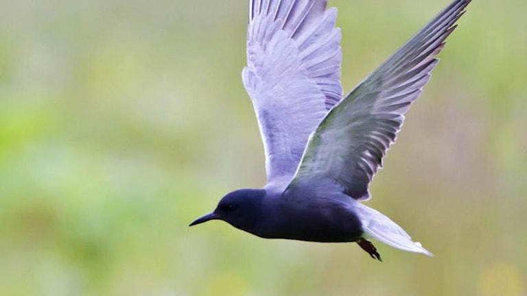 Svart fågel flyger