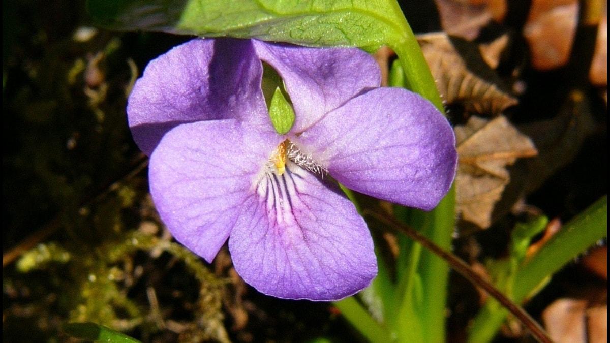 Underviol Viola mirabilis är en av växterna vi kan tänkas hitta i sändningen från Alfta.