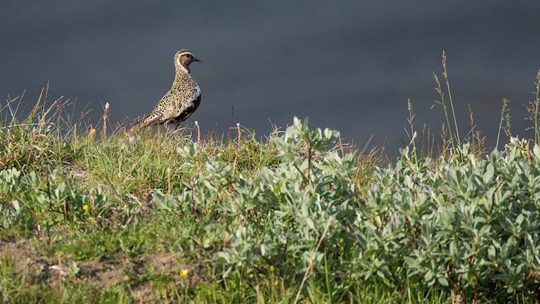 En vadarfågel med brunspräcklig rygg och mörkt bröst och ansikte i kort vide och gräs på kalfjället