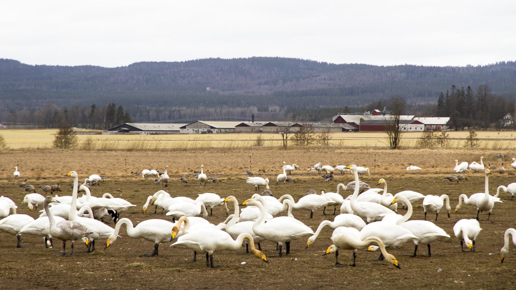 Flockar med stora vita fåglar, sångsvanar, står och betar fridfullt på en gulbrun åker. I bakgrunden syns Kilsbergens silhuett.