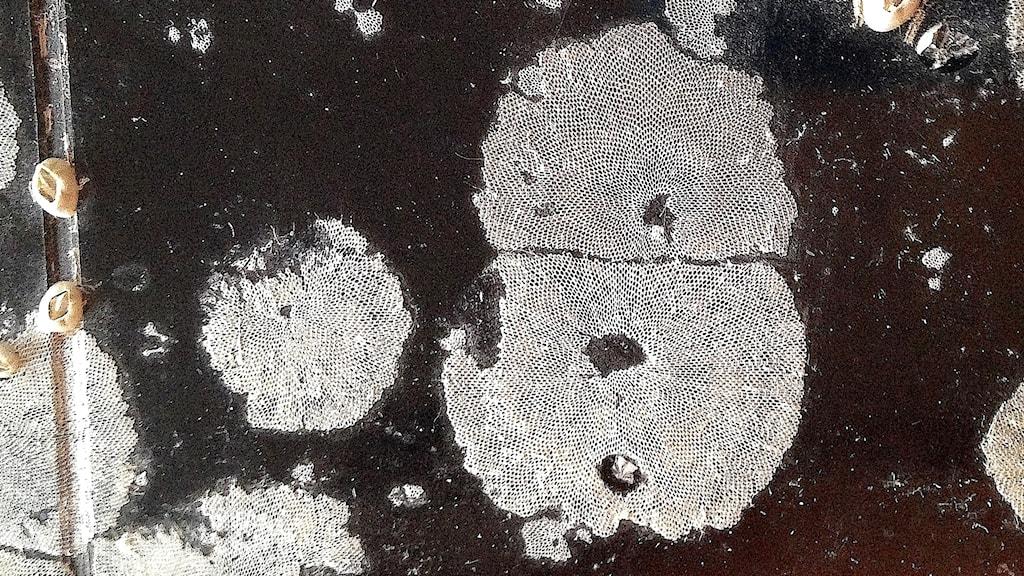 Flera kolonier av tångbark, Einhornia crustulenta. Här på en p