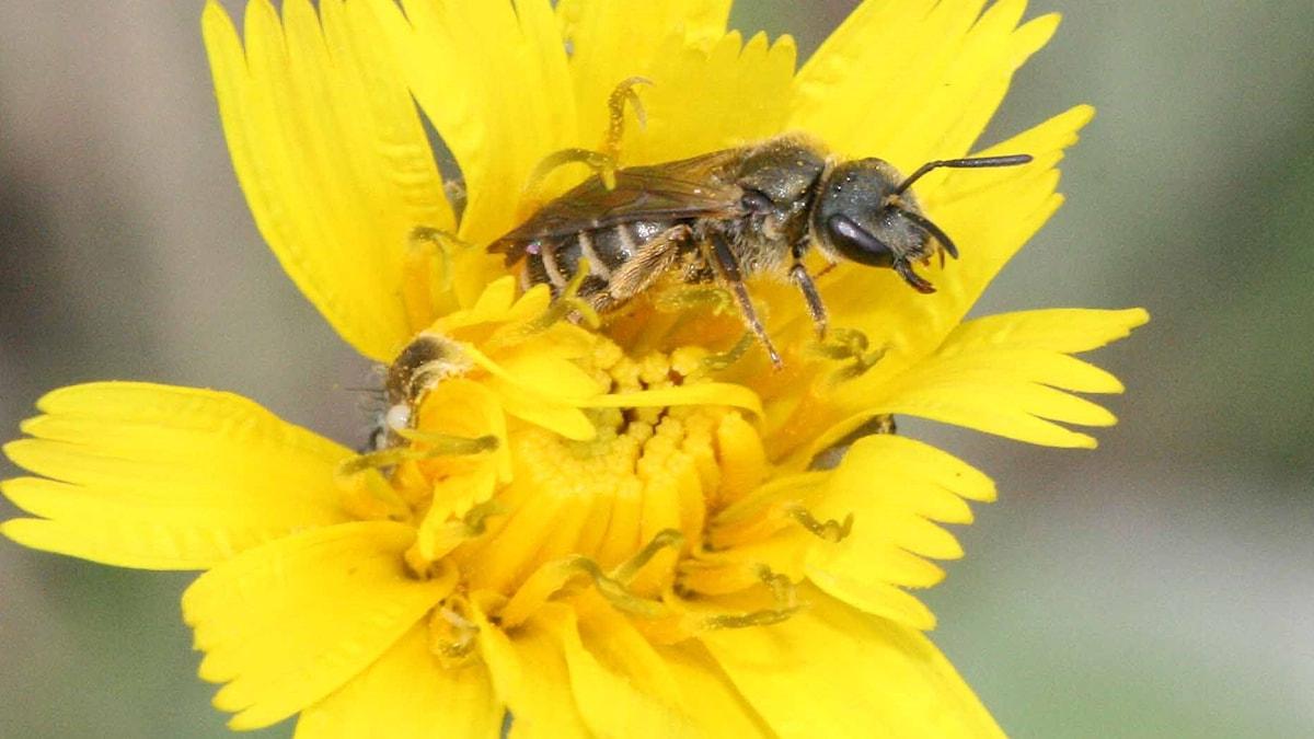 Ett bi på en gul blomma.