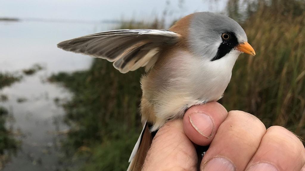 """Ennärbild på en fågel tecknad i grått och brunt och med en svart """"polisong""""-teckning vid näbbroten. En skäggmes."""