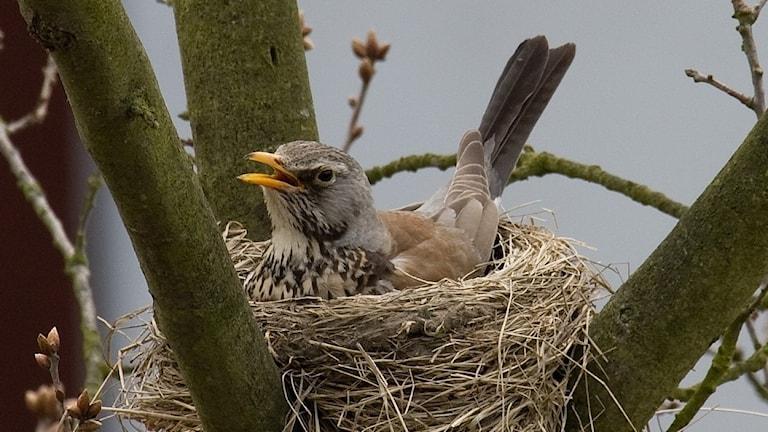 En fågel ligger och ruvar i ett bo i en grenklyka