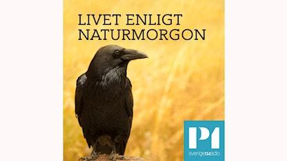 Poddbild Livet enligt Naturmorgon spridningsbild