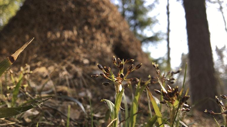 I förgrunden syns en blommande växt, vårfryle, som mest liknar ett gräs. I bakgrunden en myrstack.