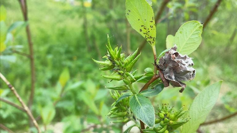 En grön videkvist med en torr grå påväxt som liknar en fylld ros.