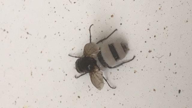 Vad har hänt denna fluga - en konstig beläggning på bakkroppen?