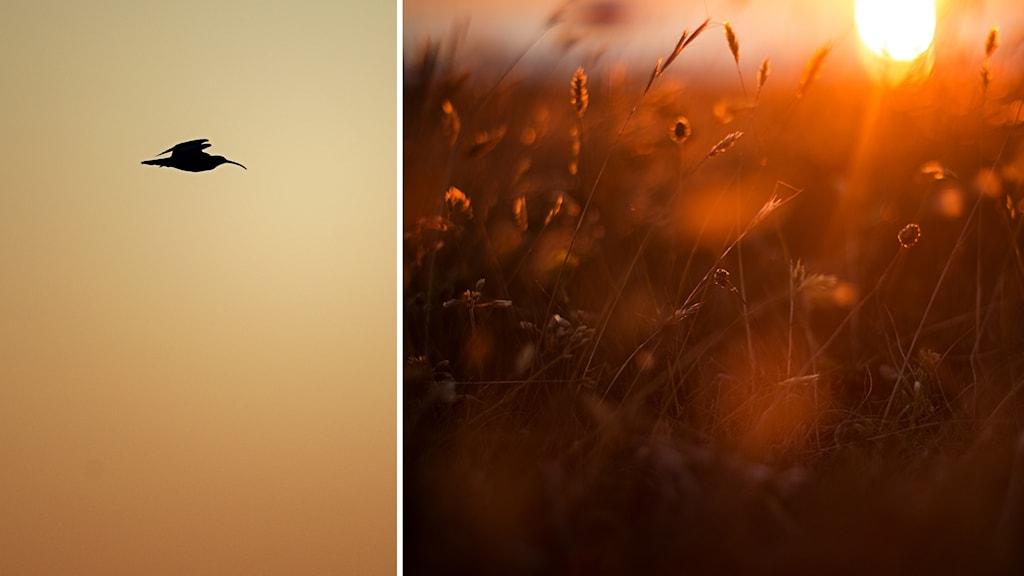 Siluetten av en flygande storspov och gräs i motljus