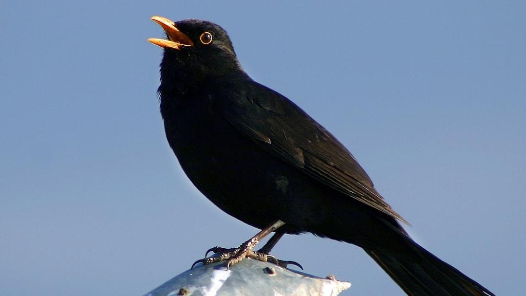 En svart fågel med gul näbb sitter och sjunger med en blå himmel som bakgrund.
