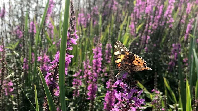 En fjäril som sitter på en lila blomma vid sjökanten.