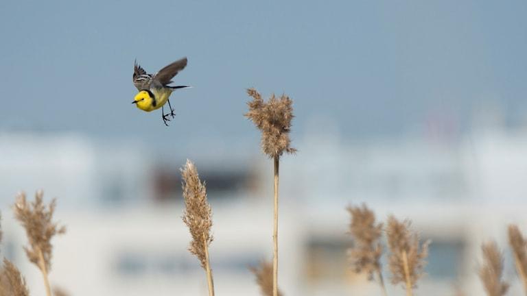 En knallgul fågel med lång stjärt flyger över vassen.