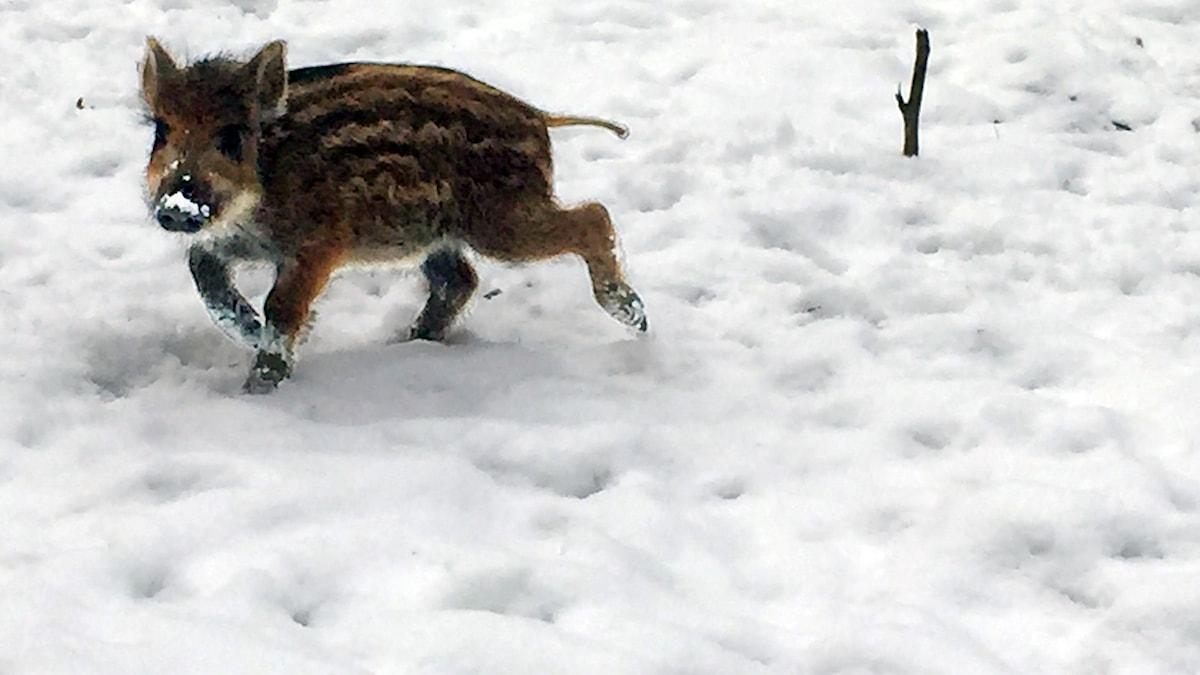 En liten vildsvinskulting i snön