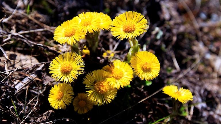 Tussilago, eller hästhov, är som gula solar i dikesrenen på många ställen just nu. En blomma som verkligen signalerar VÅR.
