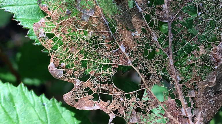 Asplövet är nerätet så nästan bara bladnerverna återstår.