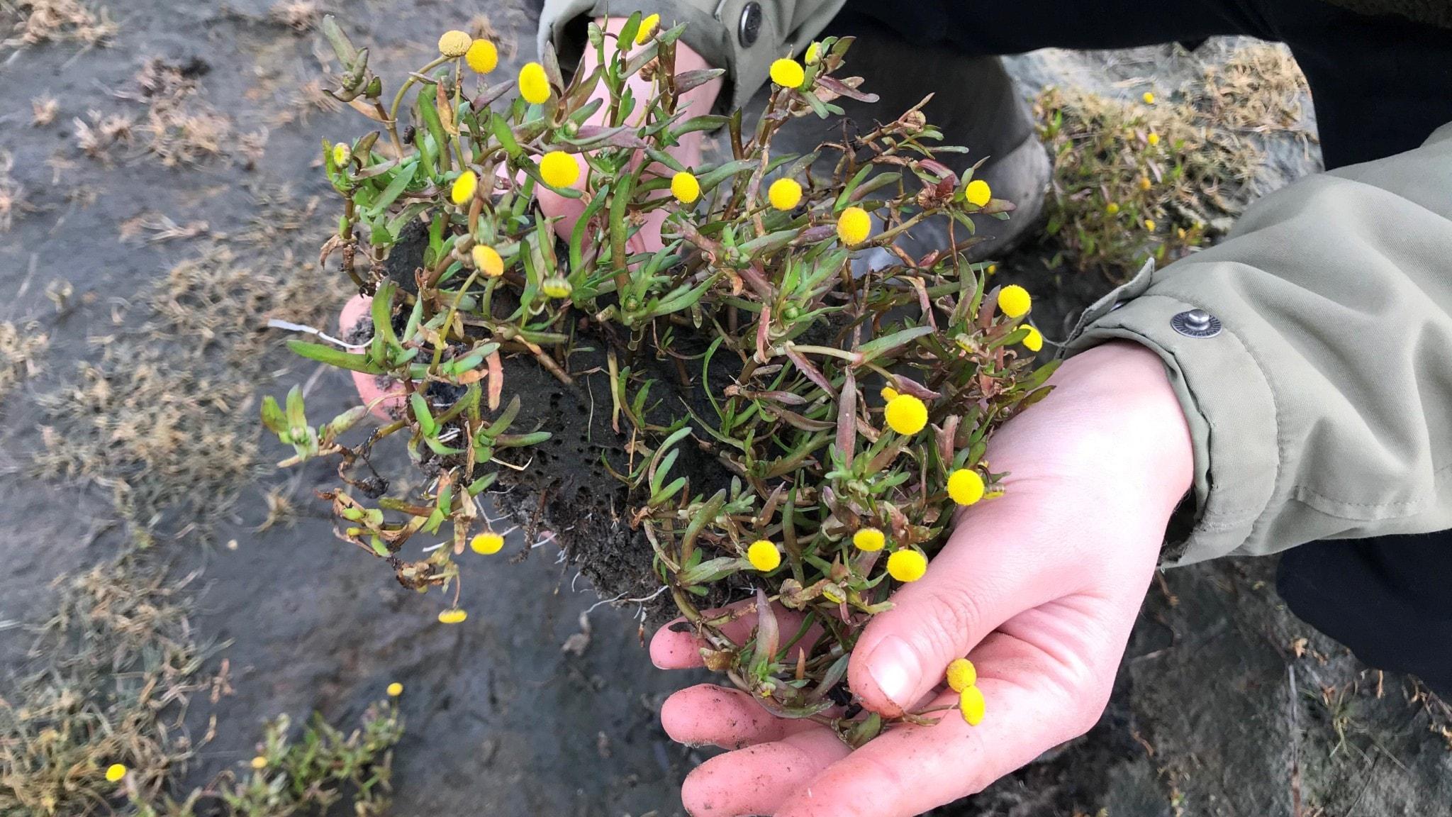 En sydafrikansk blomma på Öland och reseminnen som tar oss nästan jorden runt