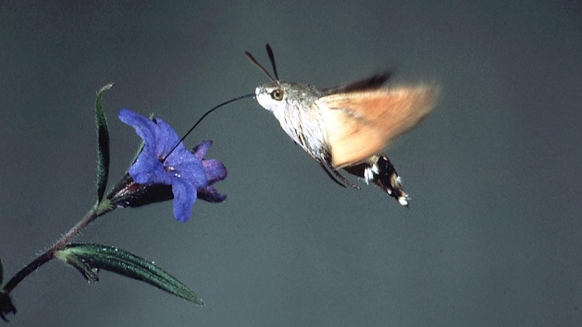 Större dagsvärmare, Macroglossum stellata, framför en blomma som den suger nektar ifrån.