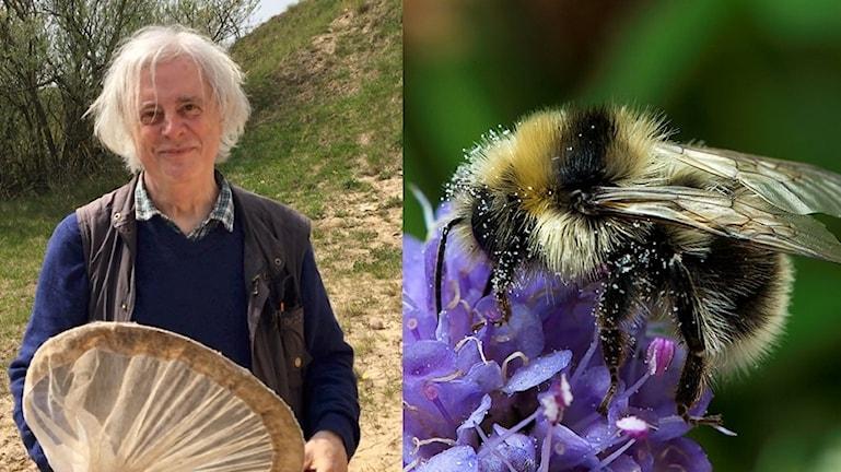 Ett collage av en bild på en man med insektshåv och en närbild på en humla