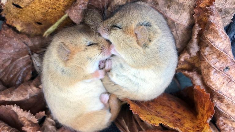 Två sovande hasselmöss.