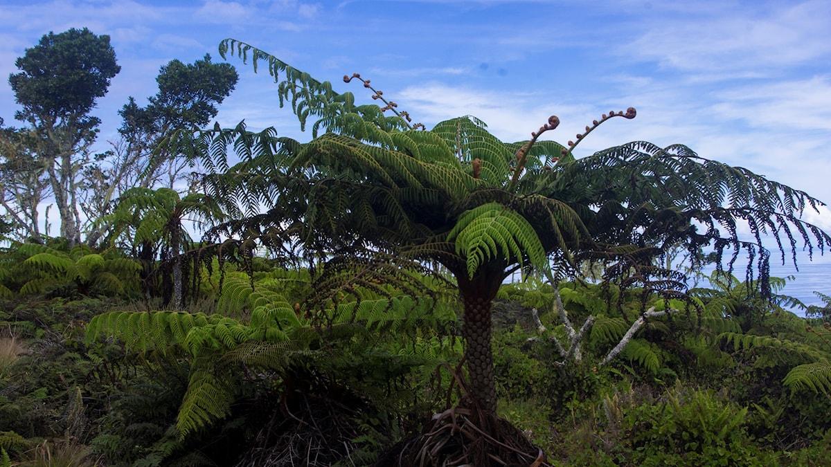 Samambaia: Ormbunksträd (fast ett litet) (Cyathea copelandii)
