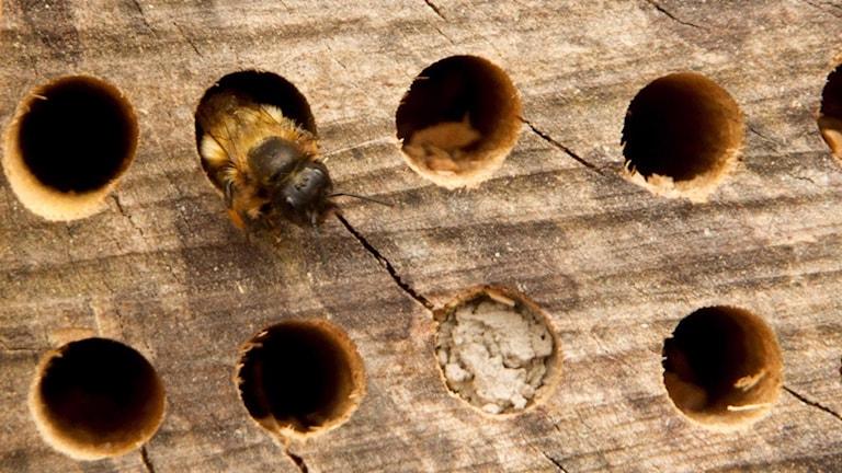 Ett gul-lurvigt bi med svart huvud tittar ut ur ett hål i ett bihotell.