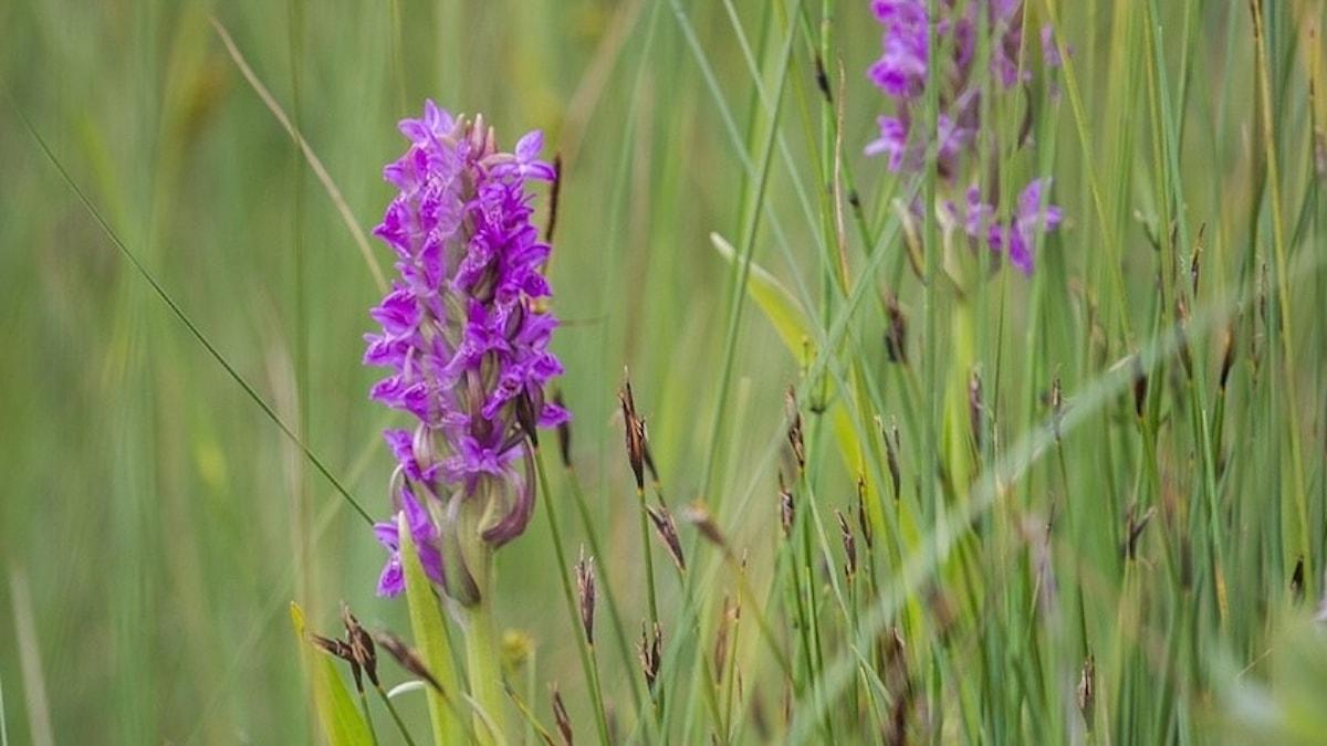 En lila orkidé, ängsnycklar.