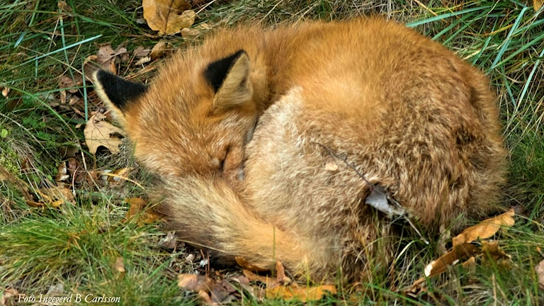 Rödräv som sover