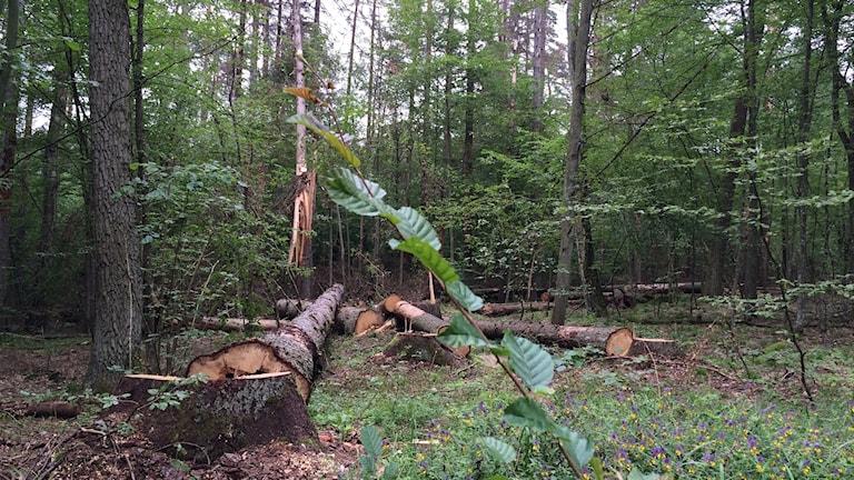 avverkad gran, döda granar o gröna lövträd vid vägen i Bialowiezaskogen