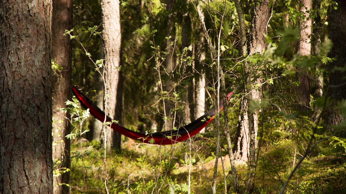 En hängmatta sitter uppspänd mellan två träd i skogen